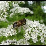 Photo of a Drone Fly (a type of Syrphid Fly which mimics a Honey Bee drone)
