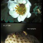 Tarnished Plant Bugs on strawberry