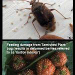 Tarnished Plant Bug (and strawberry damage)