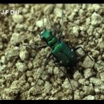 Photo of a Tiger Beetle