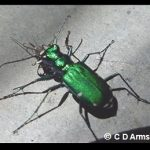 Photo of a Tiger Beetle feeding on a mosquito