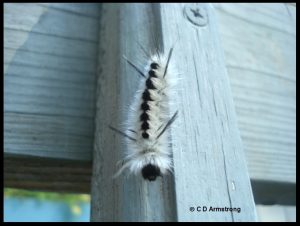 Photo of a Hickory Tussock Moth caterpillar