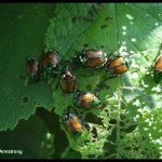 A cluster of Japanese Beetles