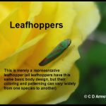 an adult leafhopper (just as an example of a basic leafhopper)