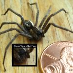 a Nursery Web Spider (very similar to Wolf Spiders)