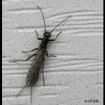 Stonefly (adult) (this species emerges in Maine in early March, typically)