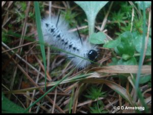 a picture of a Hickory Tussock caterpillar