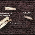 photo of a Clothes moth and some pupal cases