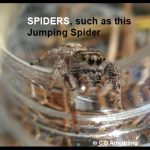 Photo of a Jumping Spider, representing spiders in general as being beneficial