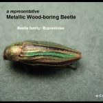 a Metallic Wood-boring Beetle (Family: Buprestidae)