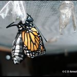 A Monarch butterfly newly-emerged (Their wings are small at first but within a matter of minutes they slowly expand to full size as fluid from the body is pumped in)