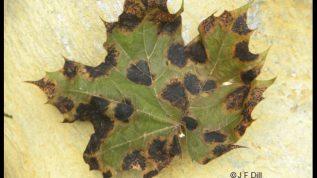 Tar Spot fungus