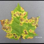 Tar Spot fungus - coalescing stage on a maple leaf