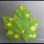 early stage of Tar Spot fungus infection on a maple leaf