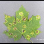 Tar Spot fungal infection - pustules starting on a maple leaf