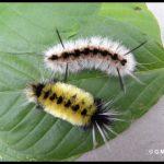 Pair of Tussock caterpillars