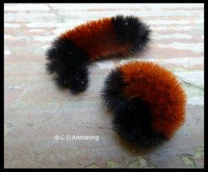 two Banded Woolly Bear caterpillars