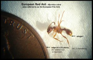 a European Red Ant (also referred to as the European Fire Ant)