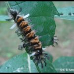 a Milkweed Tussock Caterpillar, or Milkweed Tiger Moth