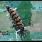 a Milkweed Tussock Caterpillar or Milkweed Tiger Moth caterpillar