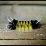 A Spotted tussock moth caterpillar (one species of several that are found in the Tussock family)