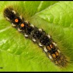 a Brown-tail Moth caterpillar