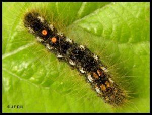 a Brown-tail Moth caterpillar