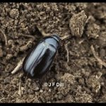 Photo of a May/June Beetle