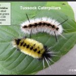 Picture showing two representative species of Tussock moth caterpillars found in Maine