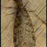 a female dobsonfly