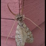a male dobsonfly