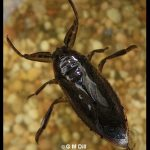 Photo of a Giant Water Bug
