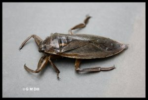 a Giant Water Bug