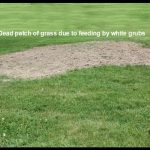 a dead patch of grass caused by feeding from white grubs