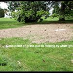 dead patch of grass caused by feeding from white grubs in the soil