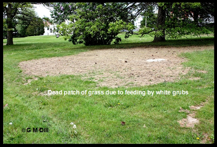 White Grubs Home And Garden Ipm From Cooperative