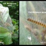 Photo showing a nest of Fall Webworm and another photo showing a closeup of one of the caterpillars