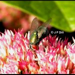 Photo of a type of blow fly commonly called a Green Bottle Fly.