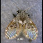 Photo of a Drain Fly (also called a Moth Fly)
