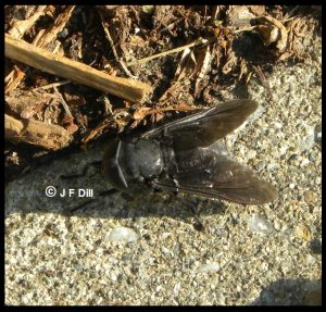 Photo of a horse fly