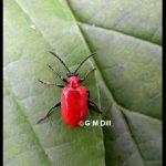 a lily leaf beetle adult