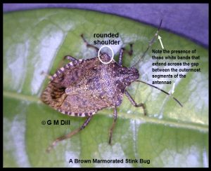 a Brown Marmorated Stink Bug (BMSB) adult, with labels pointing out the rounded shoulders it has, as well as the white bands that it has on the antennae -- the white bands stretch across the gap between the two outermost segments of the antennae