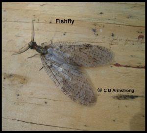photo of a Fishfly