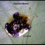 pictures of Tortoise Beetles