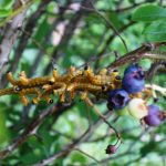 Red-Humped-Caterpillars (Durham ME July 29, 2013) (Photo courtesy of Jo-Anne Severy)