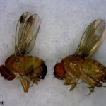 Male and Female spotted wing drosophila