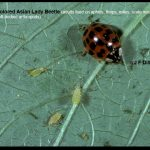 Photo of a Multicolored Asian Lady Beetle on a leaf with some aphids, which ladybugs prey upon.