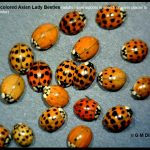 A group of Multicolored Asian Lady Beetles (adults move indoors in search of warm places to spend the winter)