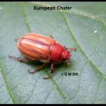 picture of a European Chafer adult beetle