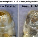 Photo comparing the rasters of a Japanese Beetle grub with that of a European Chafer grub.